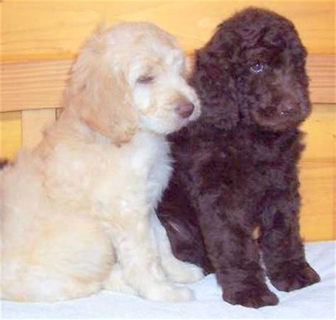 newfoundland poodle mix puppies for sale get the best newfypoo puppies 719 320 7146 best newfypoo puppies newfoundland