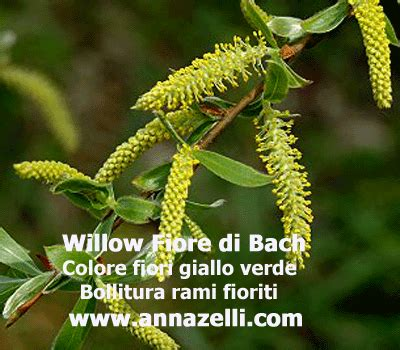 willow fiori di bach willow fiore di bach rancoroso willow fiore di bach