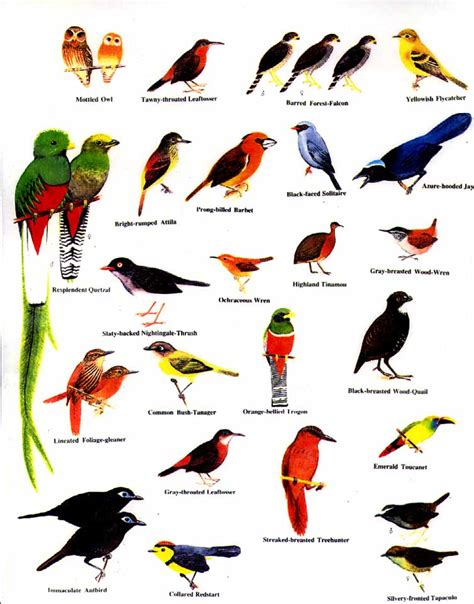birds of costa rica costa rica pinterest costa rica