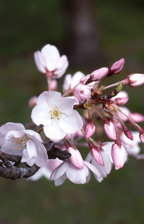 akebono flowering cherry daybreak cherry glover nursery