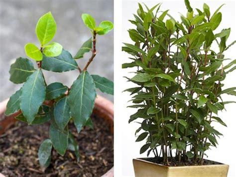 pianta di alloro in vaso alloro laurus nobilis uso simbologia propriet 224