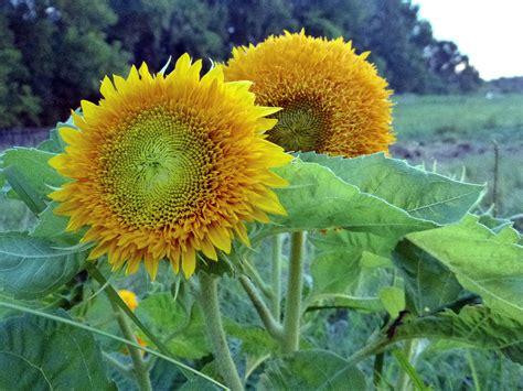 teddy bear sunflower   southern exposure seed