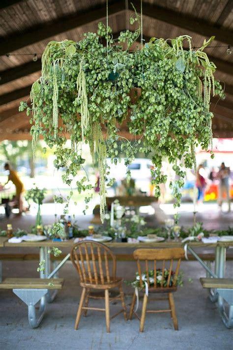 beautiful hop hanging   hops   green