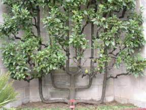 how to grow espalier fruit trees you can grow an espalier fruit tree eat drink better