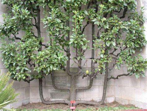 you can grow an espalier fruit tree eat drink better