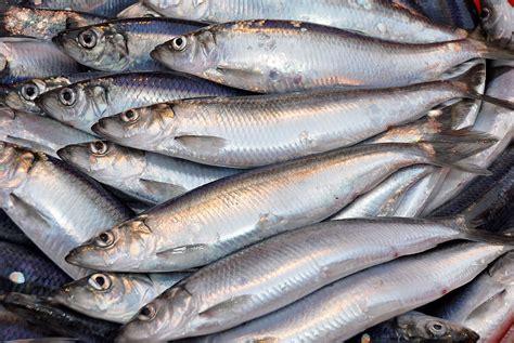Sarden Mackerel Botan A1 2 tasty nutritious and sustainable new herring season gets underway scottish pelagic