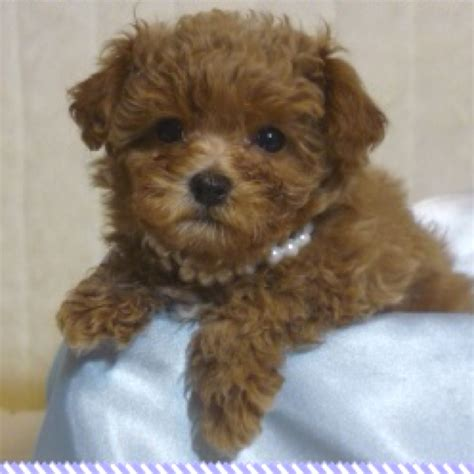 maltipoo puppies for adoption apricot teacup maltipoo and tiny apricot maltipoo