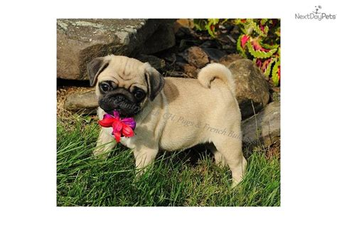 pugs for sale virginia akc ch outstanding health pug puppy for sale near eastern panhandle west virginia