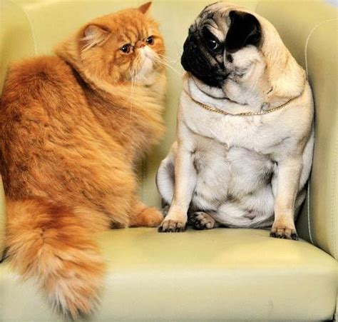 pug and cat best 25 pug ideas on pug puppies baby pugs and pugs