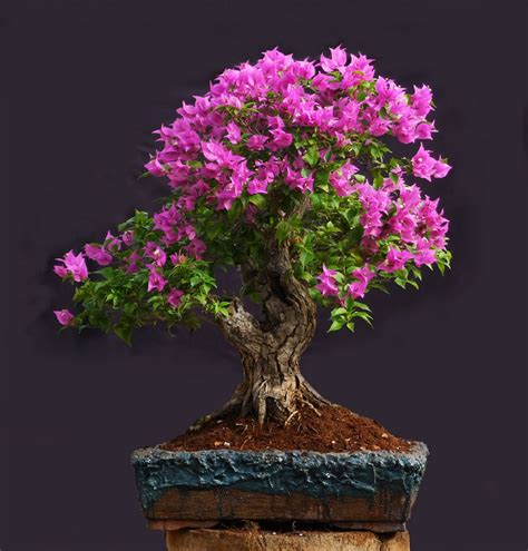bonsai the art of the art of bonsai project feature gallery the bonsai of enrique castano