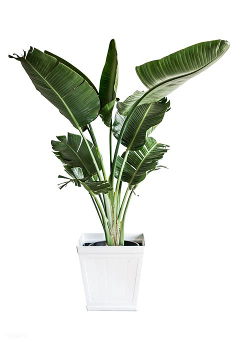 banana palm plant royalty  transparent png