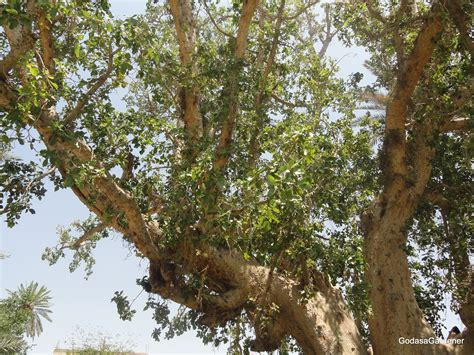 what does tree climbing a sycamore tree god as a gardener