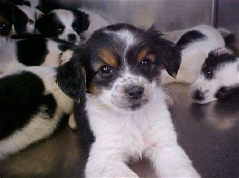 border collie pug mix border collie pug mix puppies web page