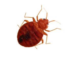 get the facts on bedbugs jimmybugs