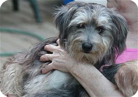 havanese schnauzer mix puppies bedford ny schnauzer miniature havanese mix meet kingston a for adoption