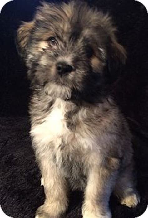 husky and shih tzu mix southington ct siberian husky shih tzu mix meet izzy a puppy for adoption