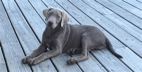 gray lab puppies silver labs the facts about silver labrador retrievers