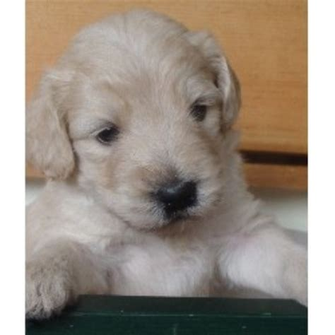 doodle puppies new jersey cha cha doodles goldendoodle breeder in columbia new jersey