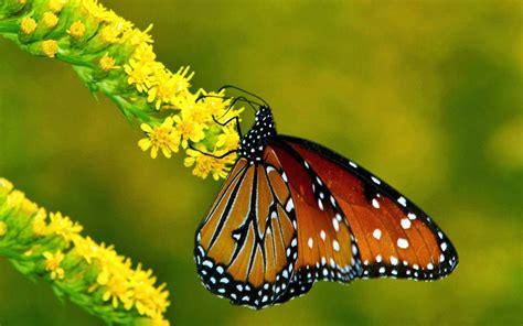 gambar kupu kupu  bunga wallpaper android iphone