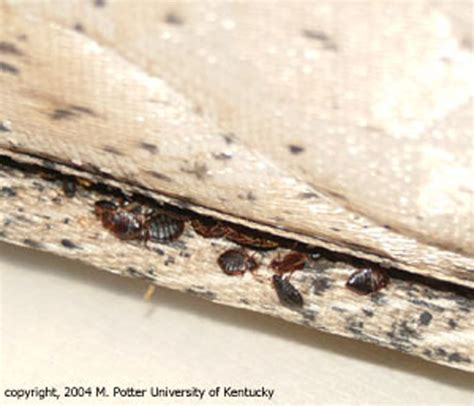 bed bug picture on mattress bed bugs public health and medical entomology purdue
