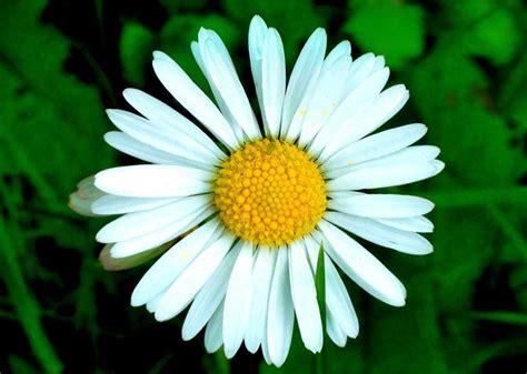 margherite fiori margherite perenni margherite perenni