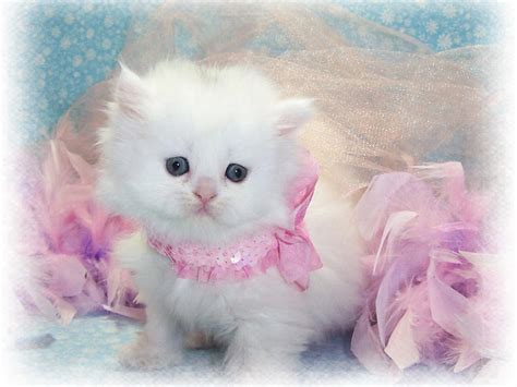 beautiful kittens white cat wallpaper beautiful desktop wallpapers 2014