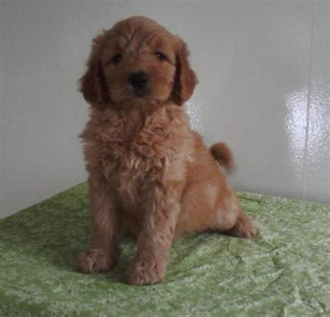 goldendoodle puppy rescue nj new jersey rescue dogs home for dogs autos post