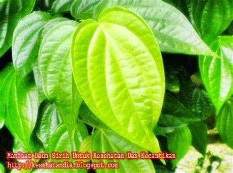 Obat Herbal Sesak Nafas Karena Alergi tanaman obat untuk asma atau sesak nafas kesehatandia