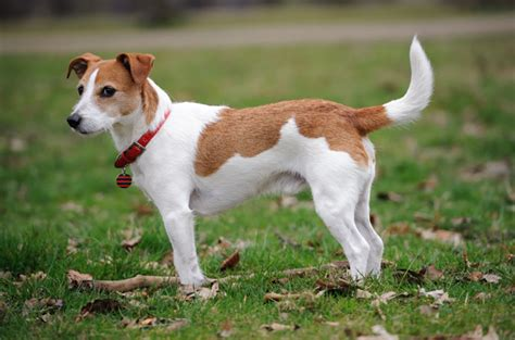 Parson Terrier Shedding by Parson Terrier Information Breeds At