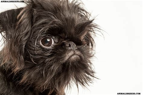 brussel griffon puppies brussels griffon breed pictures information temperament characteristics