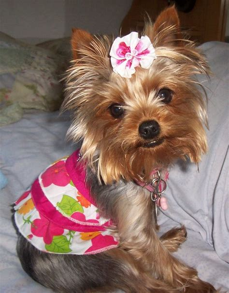 teacup yorkie hair bows yorkie cutest yorkies dressing and yorkie
