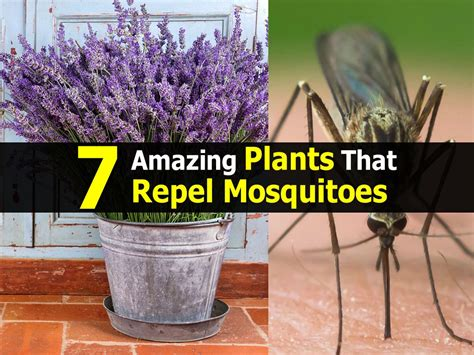 7 amazing plants that repel mosquitoes