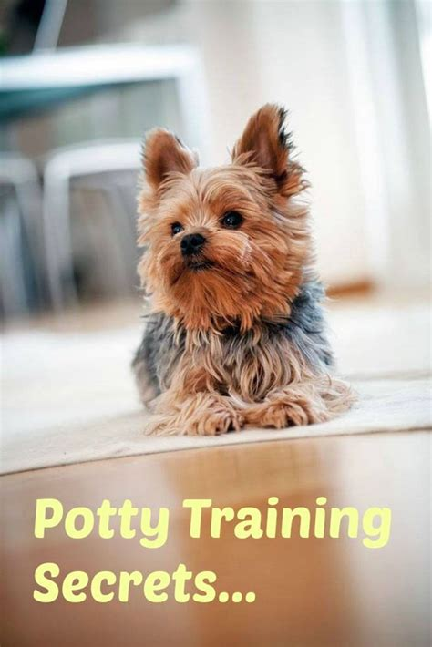 yorkie potty tips reviewed puppys tips and
