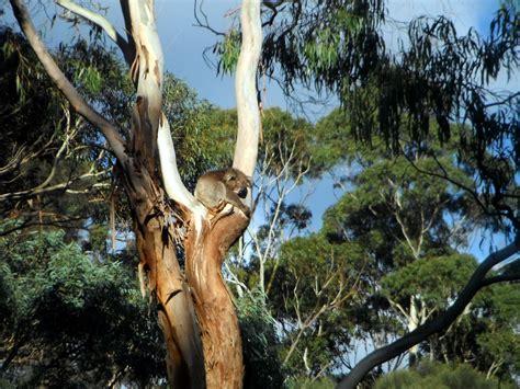 koala  tree  stock photo public domain pictures