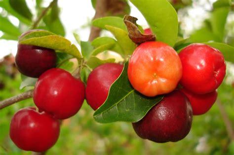 cereza guinda cherry variedades de cerezas especies tipos y clases muy interesante