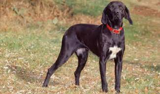 plott hound dogs plott hound dog breed information