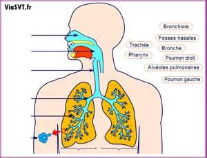 l appareil respiratoire humain cours de svt 5 232 me vive