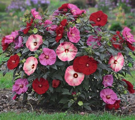 cottage farms hibiscus cottage farms dazzling design color spectacle hardy hibiscus m48970 qvc