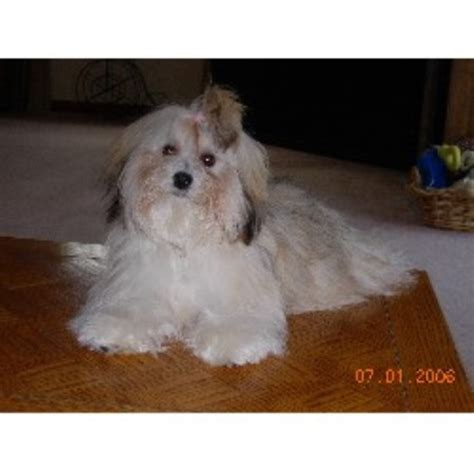 havanese breeders in ny midnight s havanese havanese breeder in lockport new york