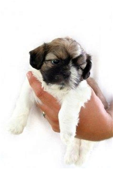 caring for shih tzu puppies shih tzus haircut groom at what age stuff haircuts