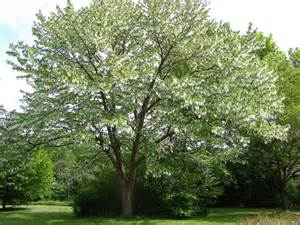 davidia involucrata ghost tree dove tree ph 0800
