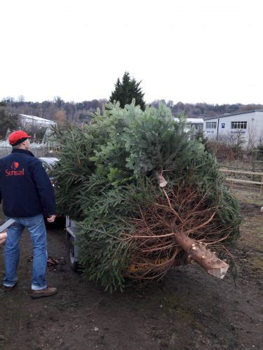 christmas trees chesham transporting chesham bois pc tree