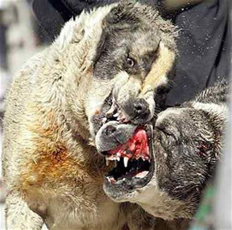 imagenes mujeres peleando peleas de perros pitbull asesinos pelea de perros