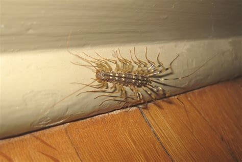 house centipede bite picture of house centipede bites house pictures