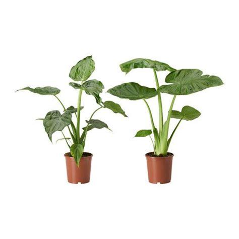 1000 id 233 es sur le th 232 me alocasia plant sur