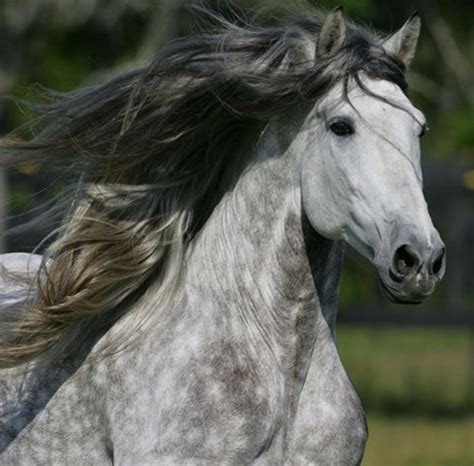 image detail for silver grey andalusian grey horses