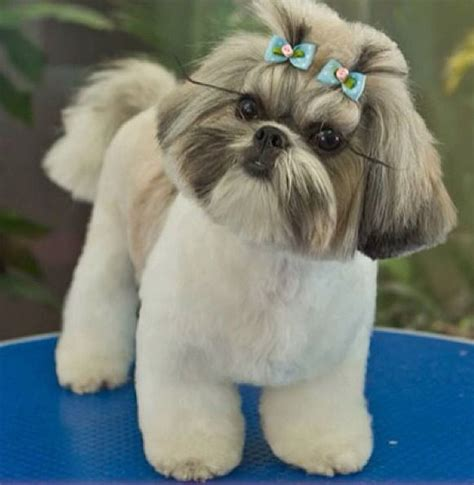 grooming styles for shih tzu 99 best shih hair cuts images on shih tzus hair cuts and shih tzu