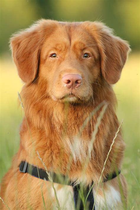 nova scotia duck tolling retrievers dogs oltre 1000 idee su ritratti di cani su pinterest cani