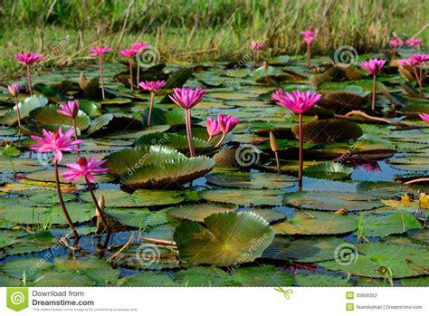 fiori thailandesi bello fiore di loto fiore nello stagno della tailandia