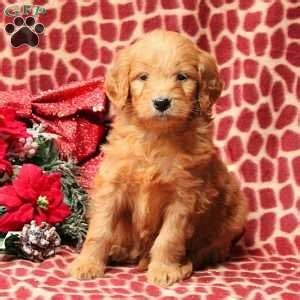 doodle treasures puppy mill goldendoodle puppies for sale in pa greenfield puppies